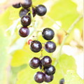 Photos: 黒真珠