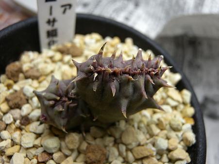 Orbea maculosa SEKKA monstorosa