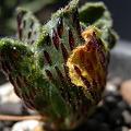 写真: Aeonium smithii