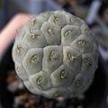 写真: Tephrocactus geometricus