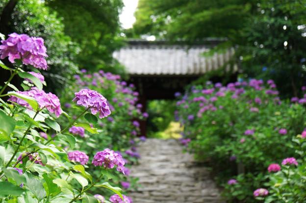 紫陽花の咲く寺