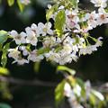 写真: ヒマラヤ桜