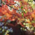 写真: 桜と紅葉