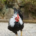 写真: 神宮の鶏