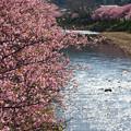 桜咲く川辺
