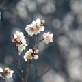 ほんのり梅の香