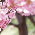 写真: 葵桜満開!
