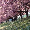 写真: 堤防の桜並木