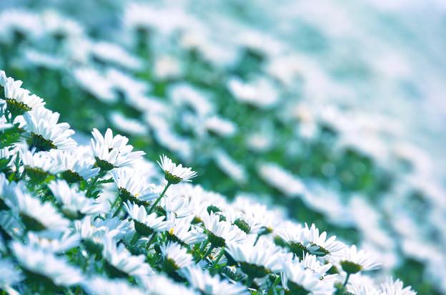 花いちめん