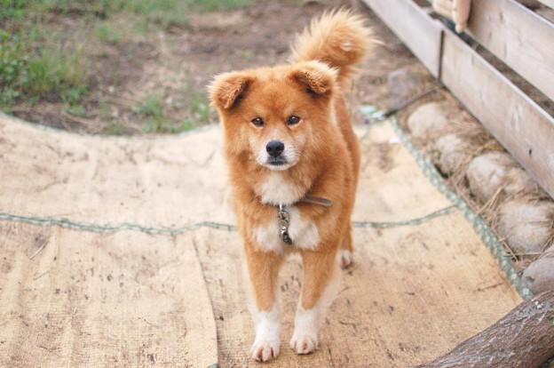 【犬】コロ・13歳・オス