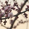 梅が咲いたよ。