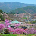 Photos: 高遠の春