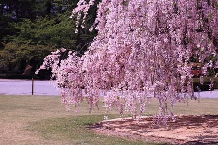 霞城公園 しだれ桜まだ咲いてました。
