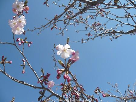 150325-桜 (5)