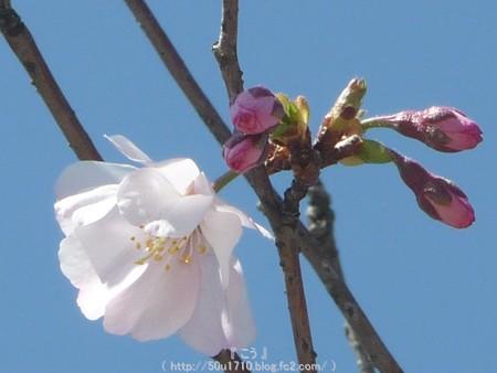 150325-桜 (19)