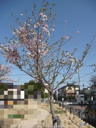 150331-桜 (1)