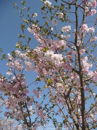 150331-桜 (2)