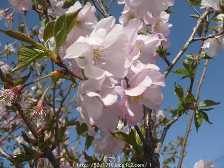 150331-桜 (5)