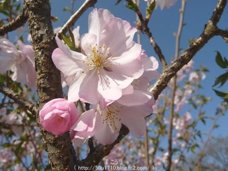 150331-桜 (8)