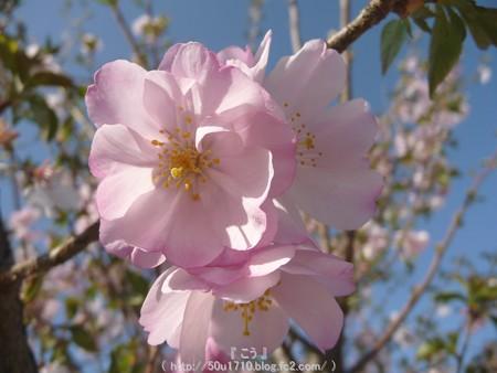 150331-桜 (9)