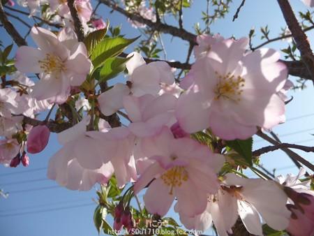 150331-桜 (10)
