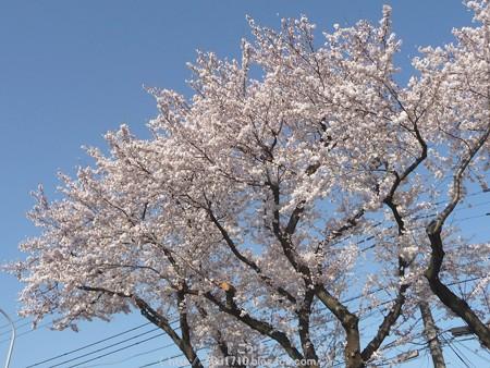 150331-桜 海軍道路 (3)