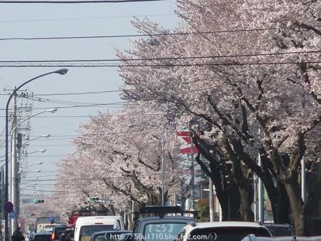 150331-桜 海軍道路 (5)