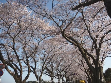 150331-桜 海軍道路 (31)
