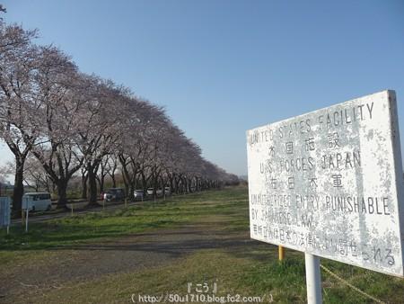 150331-桜 海軍道路 (60)