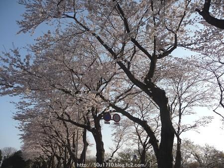 150331-桜 海軍道路 (65)