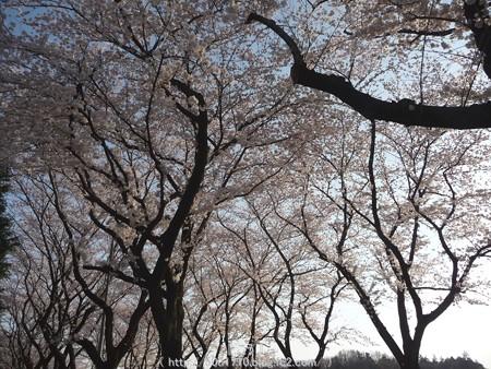 150331-桜 海軍道路 (72)