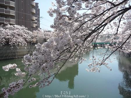 150402-桜 大岡川 (6)