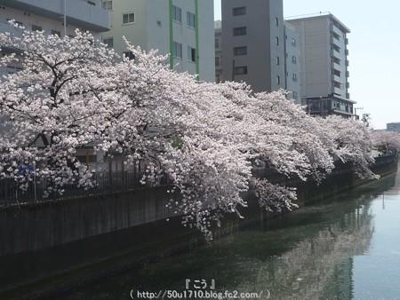 150402-桜 大岡川 (20)