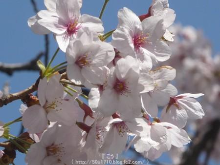 150402-桜 大岡川 (25)