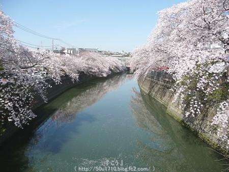 150402-桜 大岡川 (37)