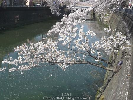 150402-桜 大岡川 (44)
