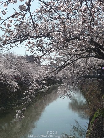 150402-桜 大岡川 (60)