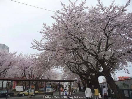 150403-桜 大和千本桜 (2)