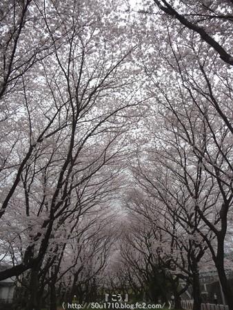 150403-桜 大和千本桜 (23)