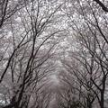 Photos: 150403-桜 大和千本桜 (23)
