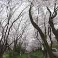 Photos: 150403-桜 大和千本桜 (27)