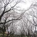 Photos: 150403-桜 大和千本桜 (28)