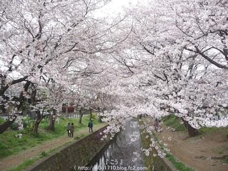 150403-桜 大和千本桜 (53)