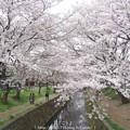 Photos: 150403-桜 大和千本桜 (53)