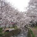 Photos: 150403-桜 大和千本桜 (61)