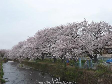 150403-桜 大和千本桜 (85)