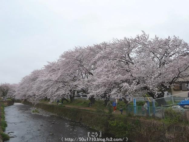 Photos: 150403-桜 大和千本桜 (85)