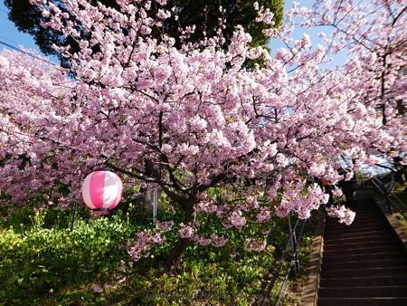170228-松田町 河津桜 (7)