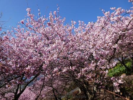 170228-松田町 河津桜 (45)