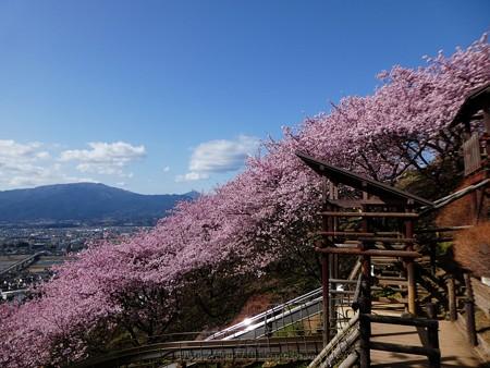 170228-松田町 河津桜 (50)